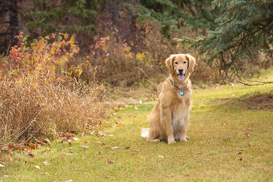 A Golden Labrador dog poses in the fall colours in Edmonton's Millcreek Ravine