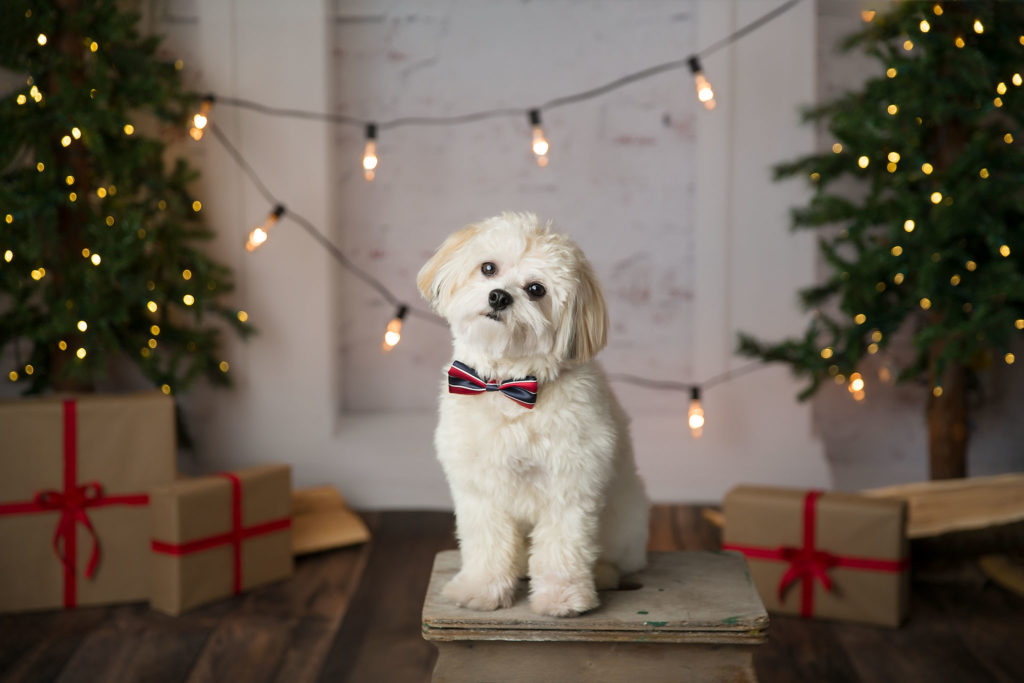 A white Shitzhu Bichon puppy poses during an Edmonton Christmas mini photo session.