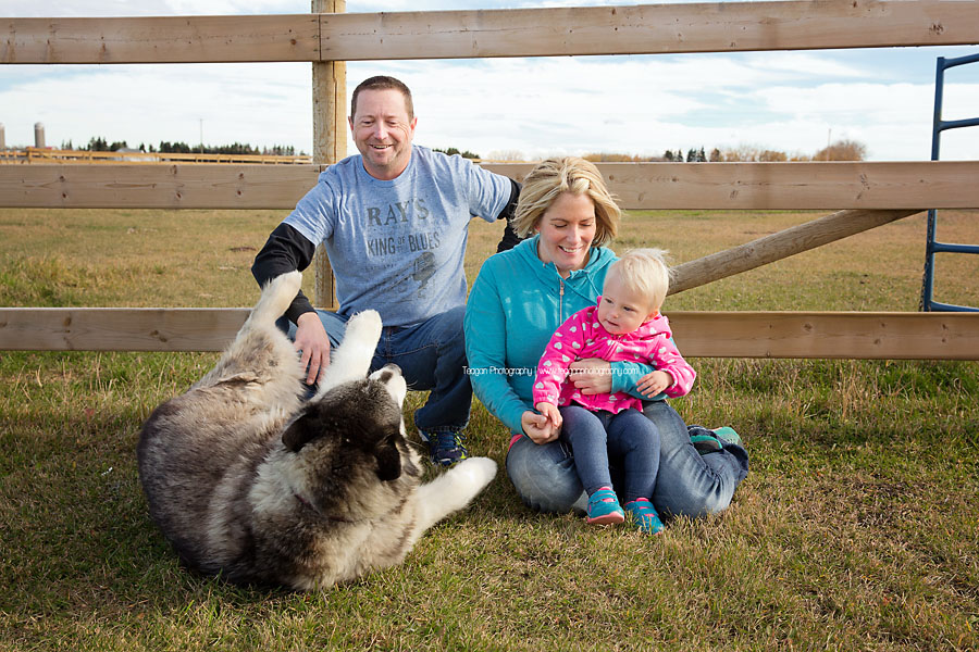 A large Malamute dog rolls on the ground  for a tummy scratch during an Edmonton photo shoot
