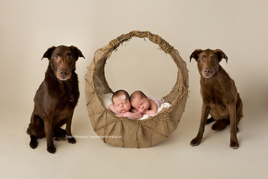 Baby twins sleep in a wicker basket during an Edmonton newborn photoshoot  with their chocolate labrador dogs